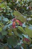 Branches of Corylus maxima. Reddish leaves and fruit of Corylus maxima plant stock photos