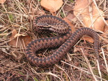 Reddish male of common adder Royalty Free Stock Images