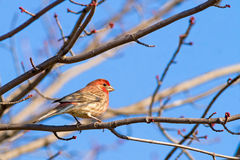 Male House Finch On Maple Royalty Free Stock Photos