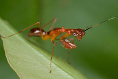 A reddish mantis nymph Royalty Free Stock Photography