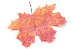 Reddish maple leaf Stock Photo