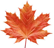 Reddish maple leaf. Close-up of a perfect red maple leaf isolated on pure white background royalty free stock photos