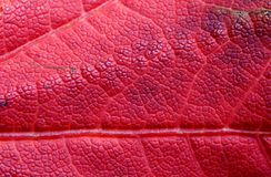 Reddish Maple Leaf, Background Stock Photo