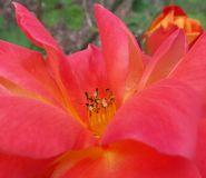 Reddish Orange Flower Royalty Free Stock Image