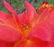 Reddish Orange Flower. Flower after a rain shower Royalty Free Stock Image