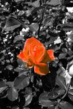 Reddish orange rose blossom in a black and white sea of leaves - Garden flowers blooming in the summer. Reddish orange rose blooming on the bush - Garden in the stock photos