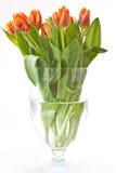 Reddish orange tulips Stock Photography