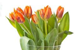 Reddish orange tulips Royalty Free Stock Images