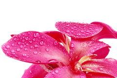 Reddish pink Canna Lily fower with drop of water. Royalty Free Stock Image