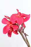 Reddish pink Canna Lily fower with drop of water. Stock Photo