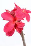 Reddish pink Canna Lily fower with drop of water. Royalty Free Stock Photography