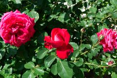 Reddish pink rose blossoms - Garden flowers blooming in the summer. Vibrant red-pink roses blooming on the bush - Garden in the summer Stock Images