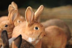 Reddish rabbits. The detail of some reddish rabbits Stock Photography