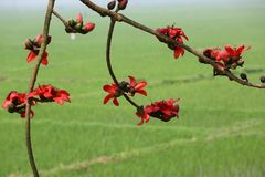 Reddish Shimul Red Silk Cotton flower tree and green paddy field background. Shimul a tall, fleshy, deciduous tree, Bombax ceiba of the family Bombacaceae Stock Photos