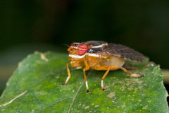 A reddish signal fly Royalty Free Stock Image