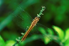 Reddish yellow dragonfly with transparent clear wings stock photo