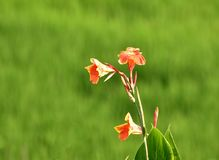Reddish yellow flower in green background. Reddish yellow canna flower is blooming in abstract green nature background as if a flame of fire in the green Royalty Free Stock Photos
