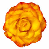 Reddish Yellow Rose Isolated on White. Beautiful reddish yellow rose isolated.  Overhead view Stock Photos