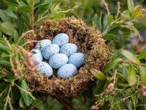 Rede av 9 ägg för blå nötskrika som sitter i rede arkivfoton