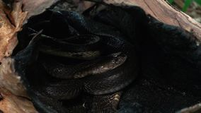 Rede av ormar med svarta konungkobror lager videofilmer