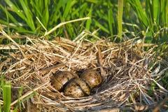 Rede av svart-hövdade fiskmåsar med den typiska kopplingen av ägg Royaltyfri Bild