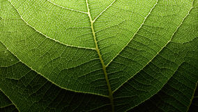 Rede do capilar da folha fotografia de stock