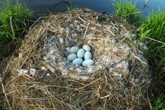 Rede för stum svan med 7 ägg Fotografering för Bildbyråer