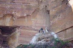 Rede för svart stork Fotografering för Bildbyråer