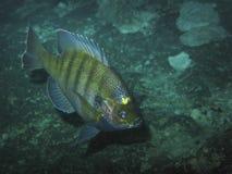 Redear klumpfisk - jäkelhåla Royaltyfri Bild
