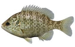 Redear Sunfish. Fish on white background file Royalty Free Stock Photography