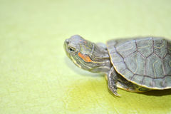 Redear turtle. In green background Royalty Free Stock Photography