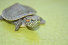 Redear turtle. In green background Stock Photos