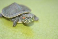 Redear turtle Stock Photos