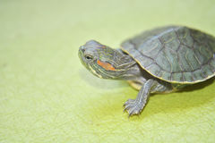 Redear turtle. In green background Royalty Free Stock Photo