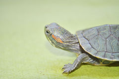 Redear turtle. In green background Stock Photography