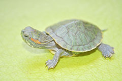 Redear turtle Royalty Free Stock Photo