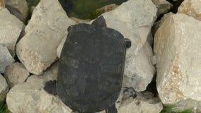 redeared черепаха сток-видео