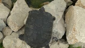 Redeared Schildkröte stock video