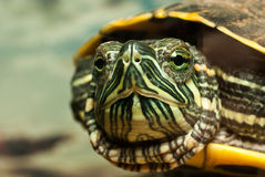 Redeared turtle Royalty Free Stock Photos