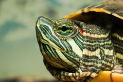 Redeared turtle Royalty Free Stock Images