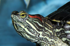 Redeared turtle Stock Photography