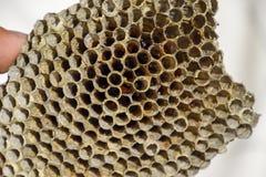 Redet är asp-, polisten det asp- redet på slutet av avelsäsongen Materiel av honung i honungskakor Asp- honung Vespa Royaltyfria Bilder