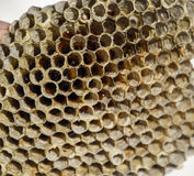 Redet är asp-, polisten det asp- redet på slutet av avelsäsongen Materiel av honung i honungskakor Asp- honung Vespa Royaltyfria Foton