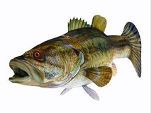 Redeye Bass Fish. The Redeye Bass is a popular freshwater gamefish which has a diet consisting mostly of insects Royalty Free Stock Image