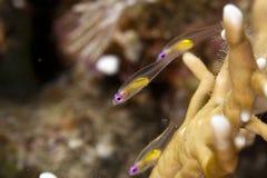 Redeye Goby (bryaninops natans) Stockfoto