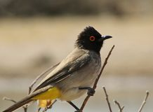 Redeyed Bulbul - African Gamebird Royalty Free Stock Image