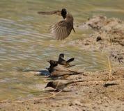 Redeyed Bulbul - Birds, Wild African Stock Image
