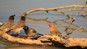Redeyed Bulbul and Melba finch Flocking for Africa Royalty Free Stock Image