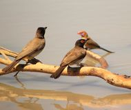 Redeyed Bulbul and Violeteared Waxbill - Water Stock Photo