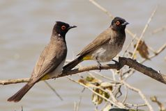 Redeyed Bulbul - Water Stock Photography